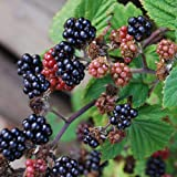Blackberry Thornless Seeds immagine
