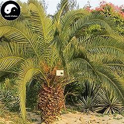 Kaufen Sea Jujube Baumsamen 20pcs Pflanze Phoenix Dactylifera Baum für Nuss Hai Zao