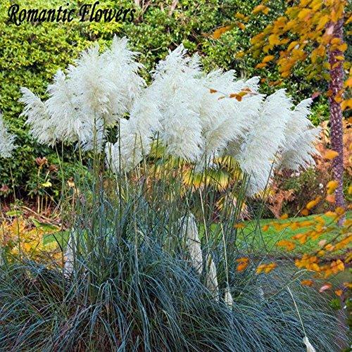 Galleria fotografica Bornbayb Pampa seme di erba ornamentale perenne seme per piantagione di giardino, 100Pcs (viola)