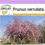 SAFLAX - Japanische Blütenkirsche - 30 Samen - Prunus serrulata