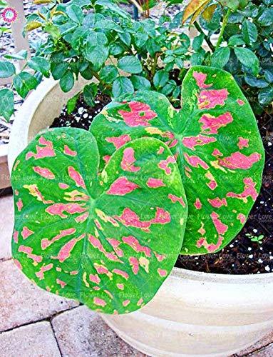 Shopmeeko Samen: 100Pcs Multiple Color Caladium Pflanze Staude Blumengarten Topfpflanze Caladium DIY Hausgarten Bonsai Pflanze Pflanze: 12