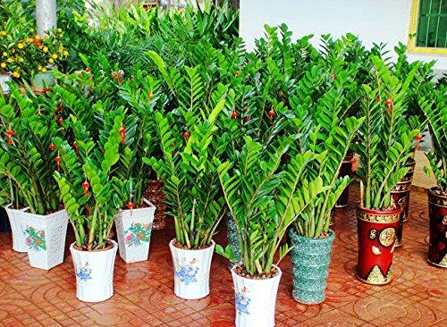 ADB Inc 300 Semi Zamioculcas zamiifolia Semi Money Tree piante Semi (300 semi)