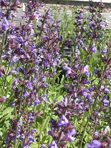 Salvia officinalis - Echter Salbei, 6 Pflanzen im 5/6 cm Topf