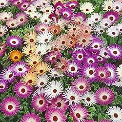 Kisshes Seedhouse - Afrique Rare Ficoides en mélange vivaces ice plant fleurs grainé jardin plantes vivaces Plantes en rocaille, en couvre-sols ou en bordure