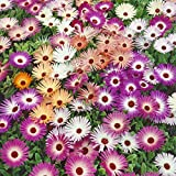 Kisshes Seedhouse - Afrique Rare Ficoides en mélange vivaces ice plant fleurs grainé jardin plantes vivaces Plantes en rocaille, en couvre-sols ou en bordure...