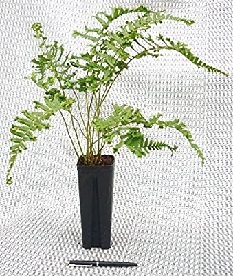 Farne- Dryopteris affinis 'Cristata'- Garten Goldschuppen Farn- Topf: 0,7 ltr. von GardenPalms auf Du und dein Garten