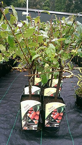 dwarf-patio-victoria-plum-tree-in-a-5l-pot-miniature-self-fertile