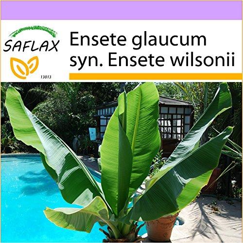 SAFLAX - Große Schneebanane - 10 Samen - Ensete glaucum syn. Ensete wilsonii
