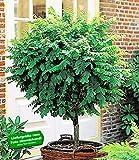 BALDUR-Garten Kugel-Akazien-Stämmchen, 1 Pflanze, Robinia pseudoacaia Umbraculifera winterhart