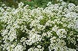 Weiße Schleifenblume 50 Samen Iberis sempervirens 'Schneeflocke' (Iberis Iceberg)