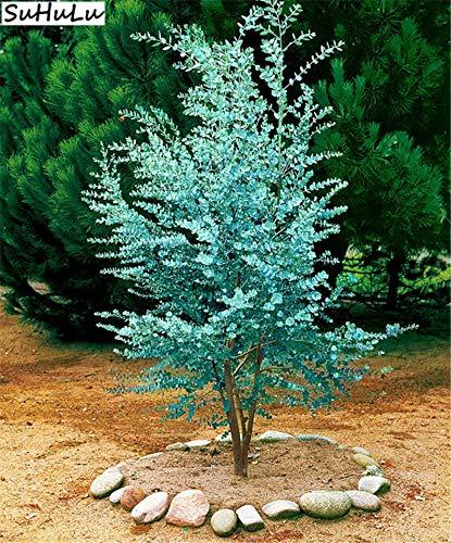 Pinkdose Garten Bonsai Blau Eukalyptus Mini Baum Exotische Strauch Blumentöpfe Pflanzgefäße Tropische Ornamente Pflanzen 100 Stücke Hof Pflanzen