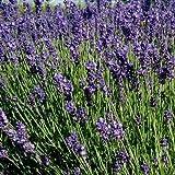 1000 Samen Echter Lavendel Duftpflanze – Lavandula angustifolia, kann 20 bis 30 Jahre alt werden