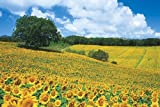 Sunflower field of longing primary 2016 piece puzzle both sides ultra-master master test of the puzzle - Umbria 27-501 (japan import)