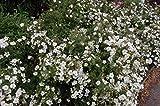 Frostharter Weißblühender Fingerstrauch Potentilla fruticosa Abbotswood ca. 30 cm Höhe in verschiedenen Mengen (5)