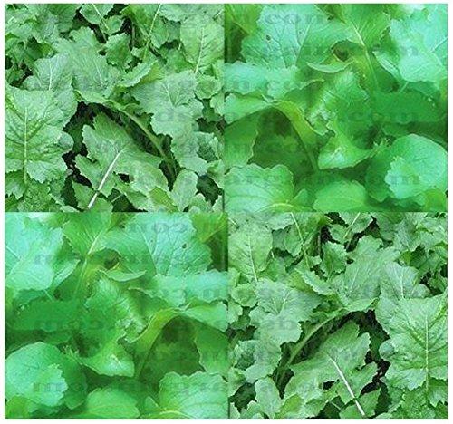 Shoopy Star 60 graines: Oregon Houx Raisin, Mahonia aquifolium, Graines arifs (comestibles, Hardy, Showy)