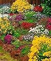 Starkl Polsterstauden-Prachtmischung, 15 Stk, Polsterstauden-Prachtmischung von STARKL Pflanzenversand auf Du und dein Garten