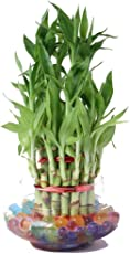 Green plant indoor 3 Layer Lucky Bamboo Plants