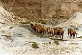 Groupe des Chameaux Sauvages dans une falaise dans le désert de Gobi