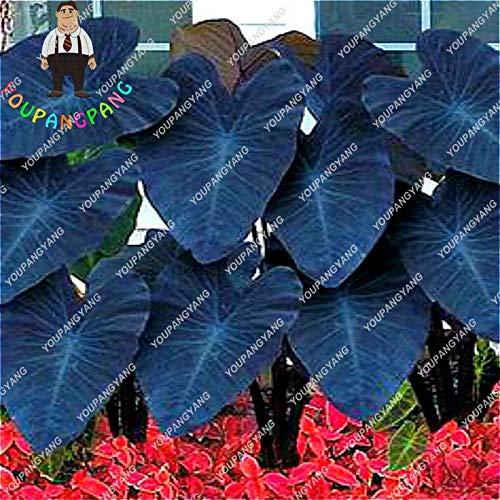 ShopMeeko Seeds:100pcs Blue Alocasia Macrorrhiza Bonsai Giant Elephant Ear Taro Bonsai Garden...