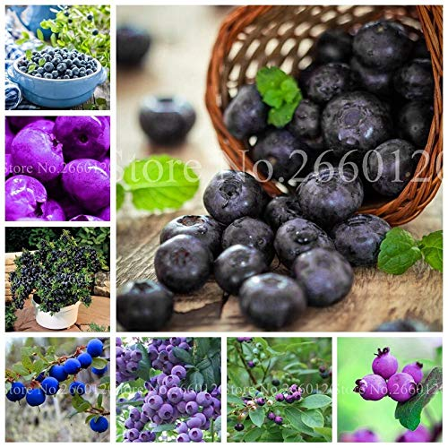 200 pc albero blueberry bonsai frutta all'aperto highbush mirtilli fai da te countyard le piante per la casa e il giardino flower pot facile da coltivare: mixed