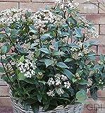 Mittelmeer Schneeball Eve Price 25-30cm - Viburnum tinus