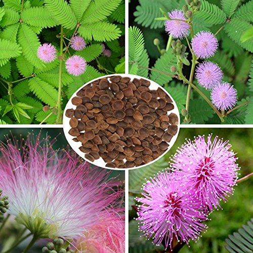 100 pcs sensibles de plantes vivaces herbes Graines Jardin Sensitive en pot