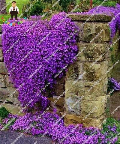 Shopmeeko 200 Teile/beutel Rainbow Creeping Thymian Pflanzen Blue ROCK CRESS Pflanzen - mehrjährige Bodendecker Blume, natürliches Wachstum für Hausgarten: Grün