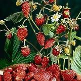Portal Cool Las semillas del paquete: 500Pcs fruta roja WoodlandSeeds AlpineWild Fruit Garden
