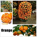 swift 50 Stück Obstsamen Orange Samen Mini Bonsai Hausgarten Obst Bäume Outdoor Obst Samen für Garten Pflanzen