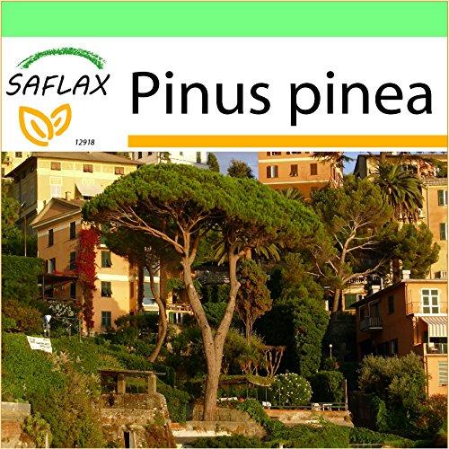 SAFLAX - Garden to Go - Mittelmeer - Pinie - 6 Samen - Pinus pinea