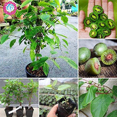 200pcs rares graines mini-fruits d'arbres fruitiers Allemagne non-OGM et des graines végétales pour plante en pot de jardin à la maison peut manger se développer rapidement.