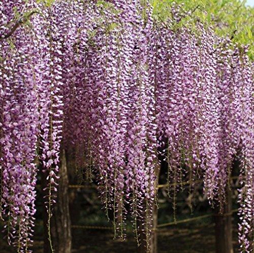 Vivai le georgiche wisteria floribunda liliac rose (glicine)