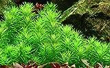 Tropica Aquarium Pflanze Pogostemon erectus...