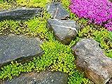 PLAT FIRM GERMINATIONSAMEN: Sedumsprossen sarmentosum verbreitet sich schnell Perennial Hardy Bodendecker