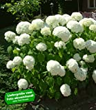 BALDUR-Garten Schneeball-Hortensie 'Annabelle';1 Pflanzen