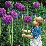 PhilMat Semillas giganteum allium 25pcs púrpura planta de jardín de DIY