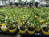 Zitronenbaum Bonsai Zitrone Citrus limon 25-35 cm Zitruspflanze