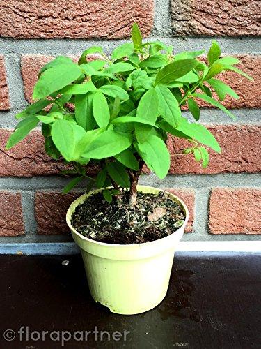 SIBIRISCHE Blaubeere Maibeere LONICERA KAMTSCHATICA Beeren Pflanze 1 stk.