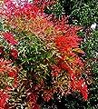 Future Exotics Rote Nandina domestica Richmond Heiliger Bambus - Himmelsbambus winterhart von Future Exotics auf Du und dein Garten
