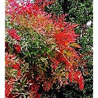 Future Exotics Rote Nandina domestica Richmond Heiliger Bambus - Himmelsbambus winterhart 40-45 cm