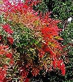 Future Exotics Rote Nandina domestica Richmond Heiliger Bambus - Himmelsbambus winterhart 50-60 cm