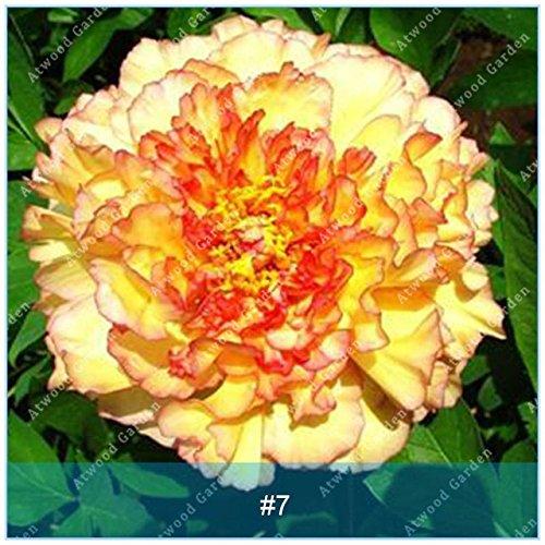 Fash lady zlking 10pcs erbaceo peonia fiore piante bonsai per giardino di casa super prodotti naturali esotici succulente: 7