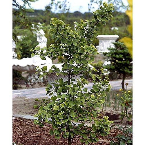 Ginkgo Strauch (1 Pflanze)