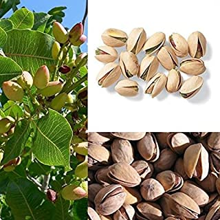 10Pcs Pistachio Nut Seeds, Chinese Pistacia Organic Tropical outdoor Fruit Tree Seeds