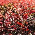 25 Stück Fagus sylvatica Purpurea - (Blutbuche)- Wurzelware 60-90 cm von Pflanzen-Discounter24.de bei Du und dein Garten