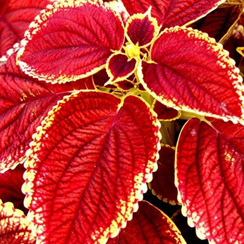 Etophigh Coloré Graines De Fleurs De Fleurs Herbe Ornementale Paysage Décor De Jardin Vert Organique Plante Bonsaï, 50/100 graines