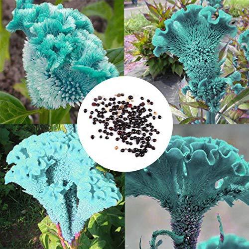 Vobome 20 stücke Seltene Hahnenkamm Samen Bonsai Pflanzen Heimgarten Blumensamen