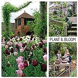 Plant & Bloom - Bulbes de fleurs, Tulipes d'Hollande - 30 ampoules, plantation d'automne, faciles à cultiver, floraison printanière - Rouges Roses et Blanches - Qualité supérieure hollandaise