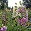 lichtnelke - Fingerhut (Digitalis purpurea 'Foxy') von Lichtnelke Pflanzenversand bei Du und dein Garten