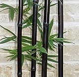 50 graines / sac GRAINES rares - BLACK BAMBOO Phyllostachys Nigra Dendrocalamus asper Betung Hitam - noir culmed bambou rugueux - graines